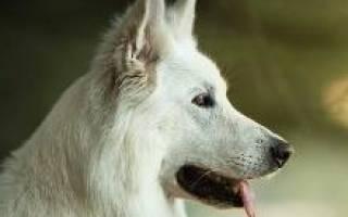 Бшо порода собак описание