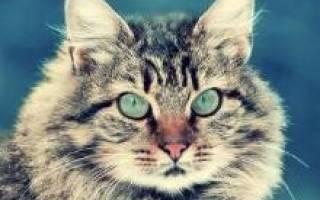 Сибирские кошки описание породы и характера