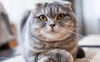С какой породой вязать шотландскую вислоухую кошку?
