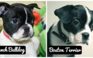 Бостон терьер и французский бульдог отличия фото