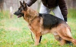 Как тренировать щенка немецкой овчарки?