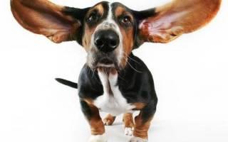 Бассет хаунд собака описание породы