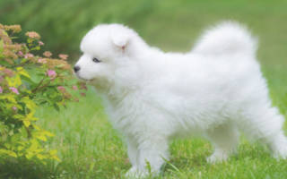 Как воспитать щенка самоеда?