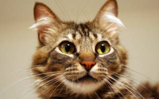 Чем лечить лямблии у кошек?