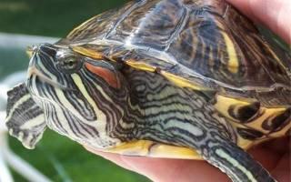 Как спят красноухие черепахи ночью?