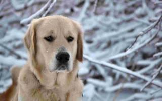 Инфаркт у собаки симптомы и лечение
