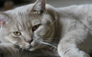 Как помыть британского кота?