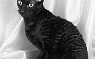 Болячки у кошек на морде – рана на носу у кота