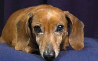 Как выглядит клещ у собаки фото?