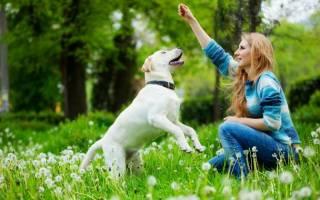 Как воспитать лабрадора щенка в домашних условиях?