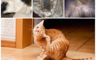 Как выглядят блохи у кошек фото?