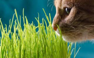 Пророщенная трава для кошек – как прорастить пшеницу для кошки?
