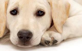 Эпилепсия у собаки лечение в домашних условиях – судороги у пекинеса