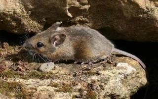 Что едят мыши в домашних условиях: чем кормить мышь?