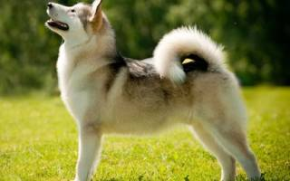Лайка собака описание характер породы