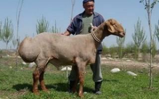 Самый большой баран в мире фото