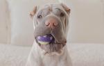 Как воспитывать щенка шарпея?