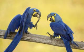 Какая порода попугаев разговаривает лучше всех?