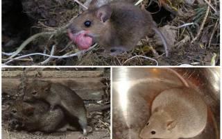 Как быстро размножаются мыши – новорожденные мышата