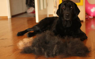 Почему у собаки выпадает шерсть и лысеет?