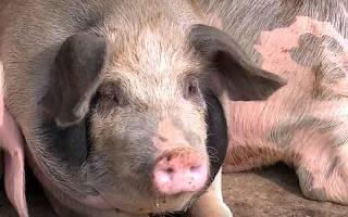 Как назвать свинью: клички поросят