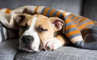 Золотистый стафилококк у собак лечение