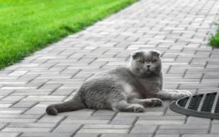 Британская вислоухая кошка описание породы характер