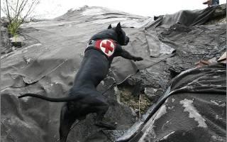 Порода собак стаффордширский терьер описание характеристики