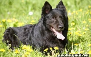 Грюнендаль порода собак, бельгийская овчарка черная фото