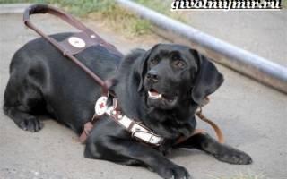 Породы собак поводырей с фотографиями и названиями