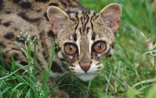 Как называется порода кошек похожих на леопарда?