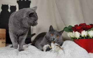 Шартрез порода кошек – французская кошечка