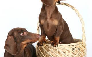 Как выбрать щенка таксы при покупке?