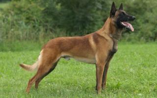 Малинуа стандарт породы, черная бельгийская овчарка