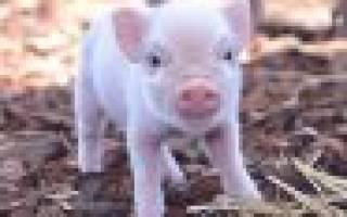 Витамины для свиней для быстрого роста