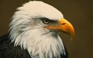 Сколько лет живут орлы – орел продолжительность жизни