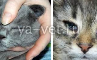 У кота течет глаз что делать, у кошки текут слезы