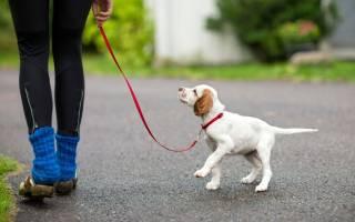 Как гулять с щенком на улице?