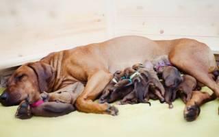Как понять что роды у собаки закончились, сколько щенков рождается?