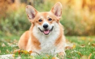 Собака как лисичка порода сиба?