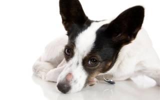 Лишай у собак фото лечение дома