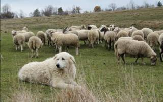 Маремма абруццкая овчарка описание породы