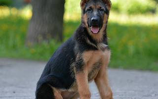 Какой хвост у щенка немецкой овчарки?