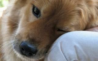 Как ведет себя собака перед смертью?