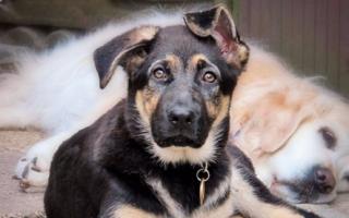 Когда у щенков встают уши?