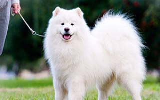 Порода собак самоед почему так называется?