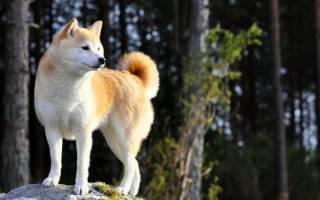 Картинки собаки хатико, акита ину смешные фото