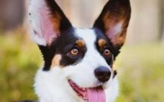 Порода собак вельш корги кардиган фото – cardigan welsh corgi