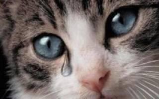 Почему у кошки слезятся глаза что делать, слезы у кошек причины