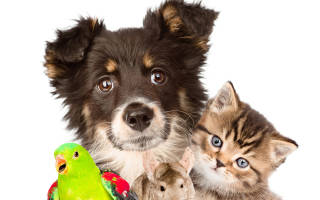 Как подготовить щенка к первой выставке?